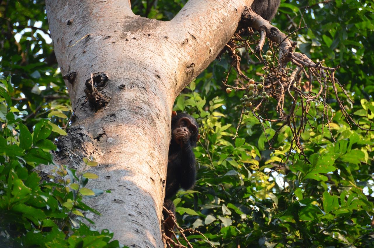 chimp im feigenbaum