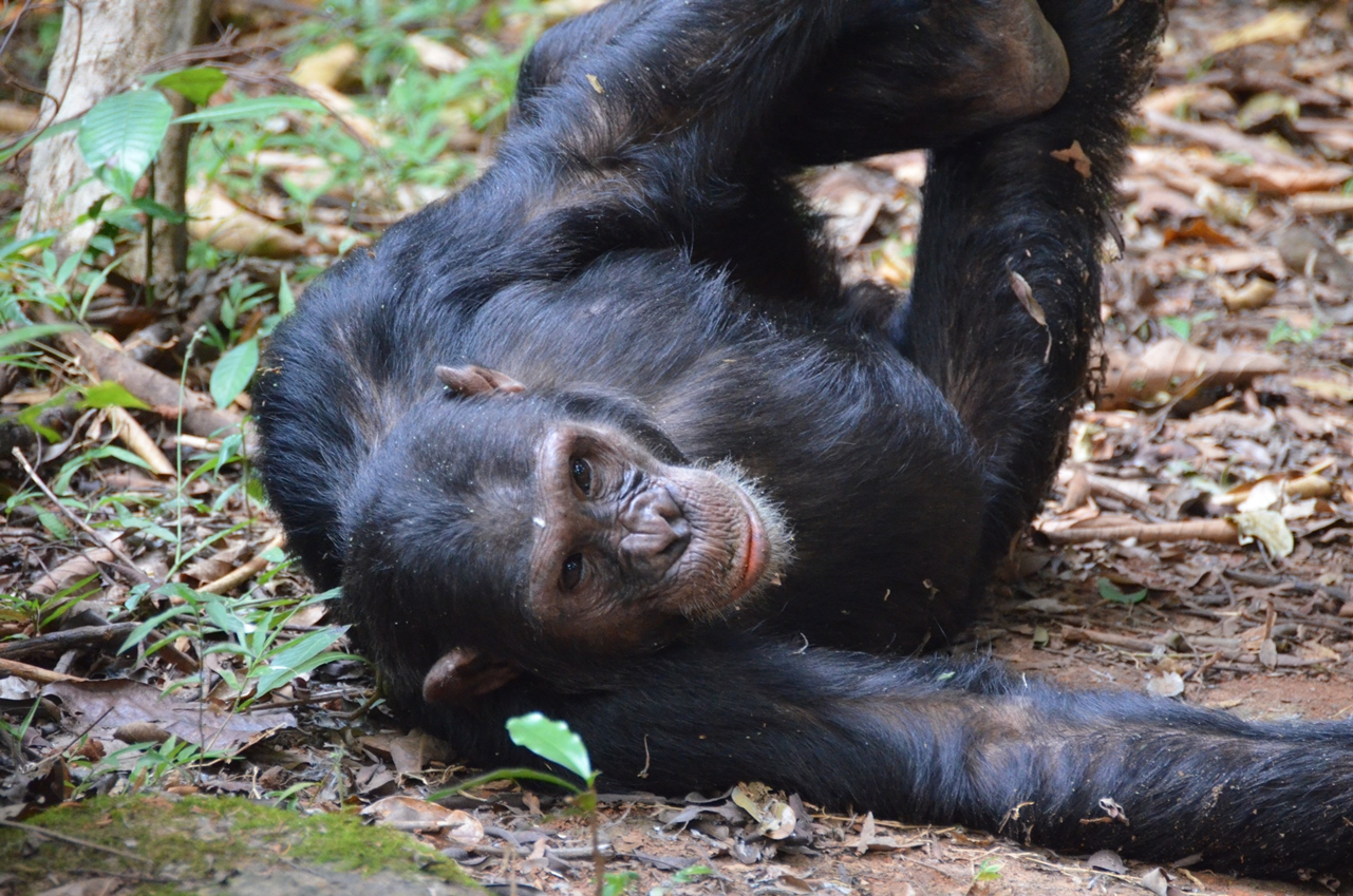 chimp teddy