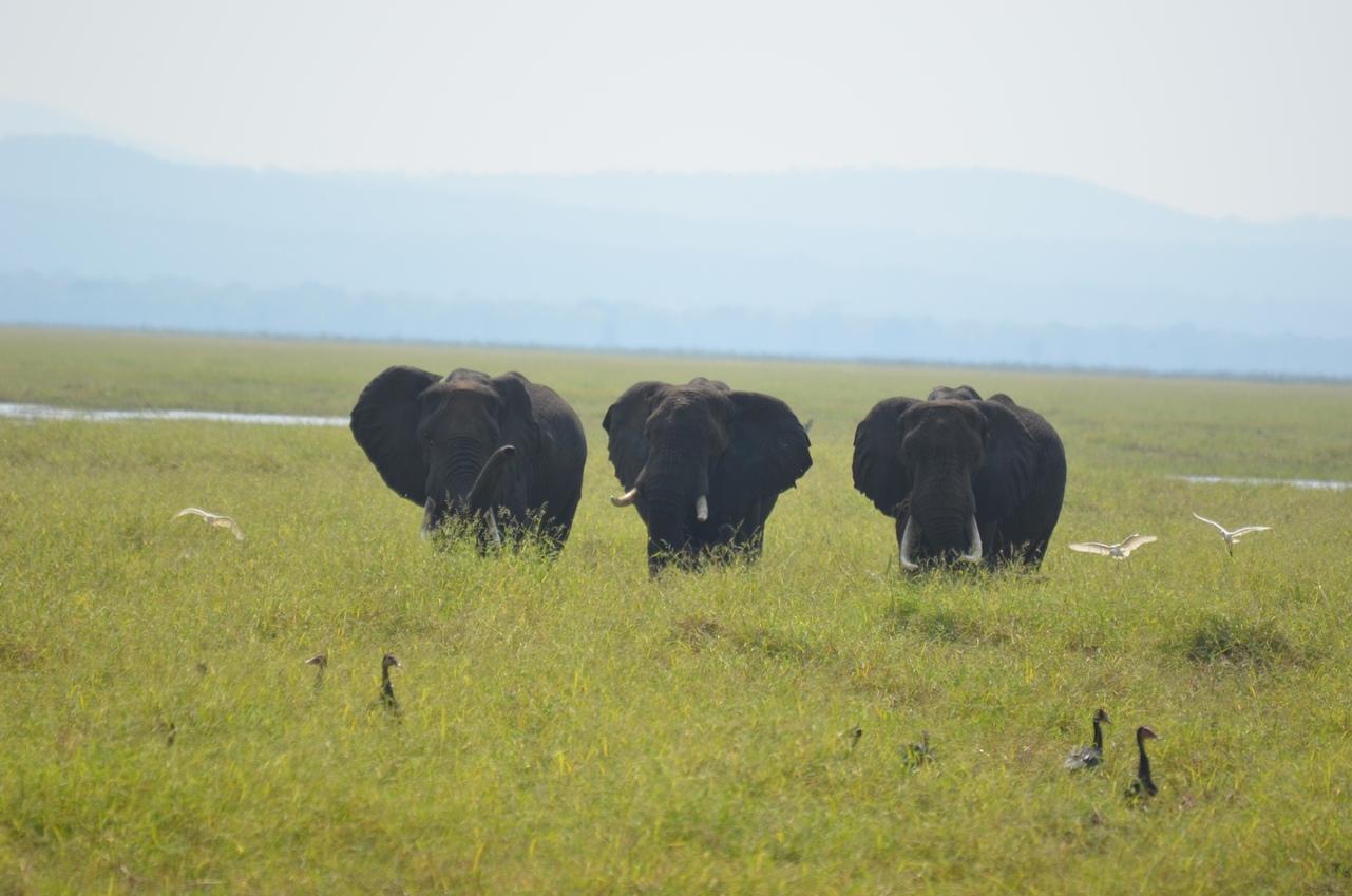 elefants with birds
