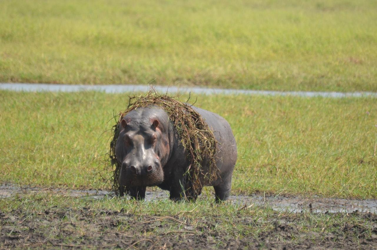 hippo met gras