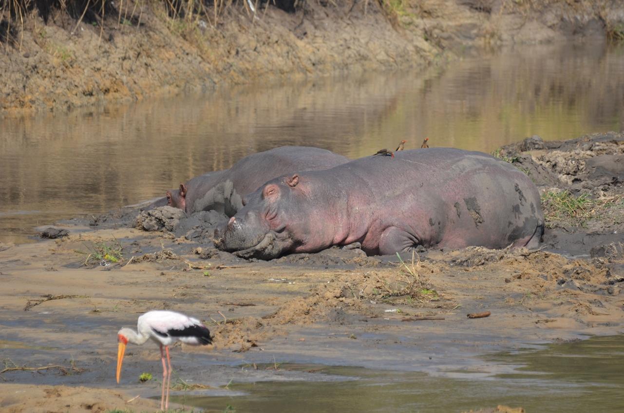 hippo slaapt