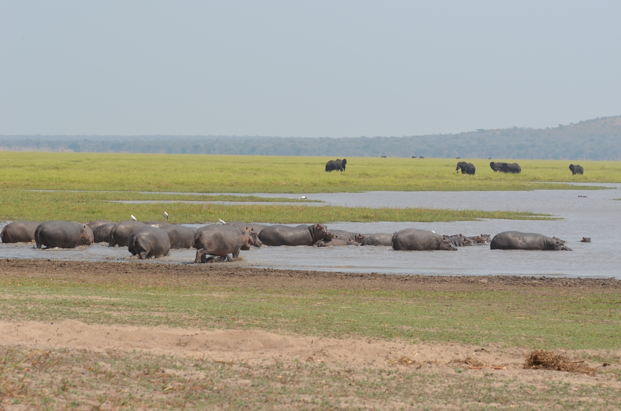 hippos and elephants