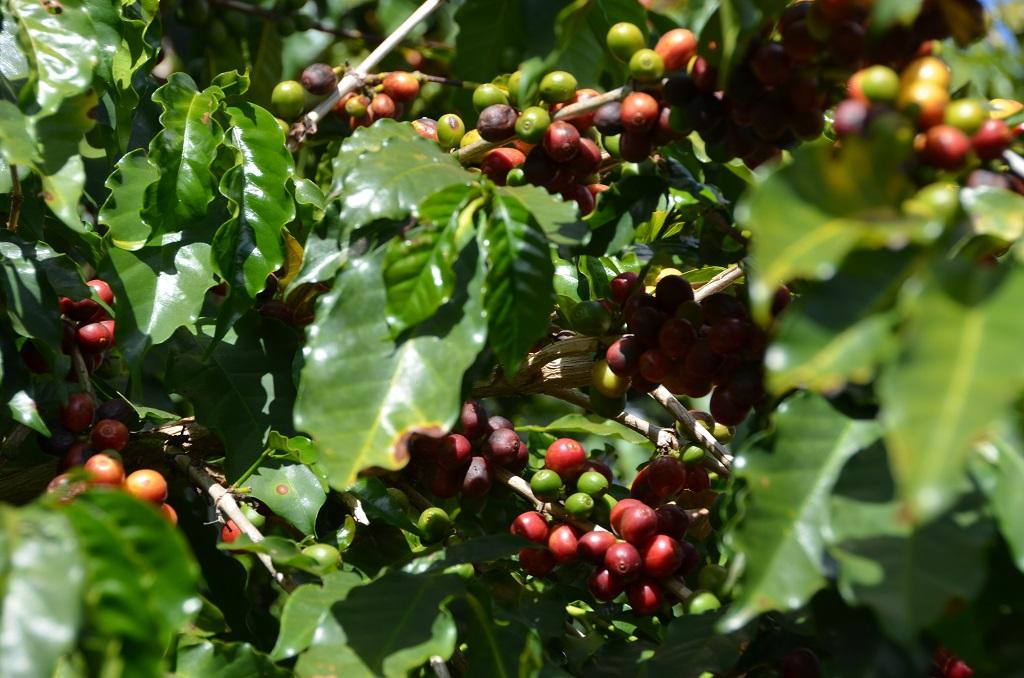 munali koffie (26)
