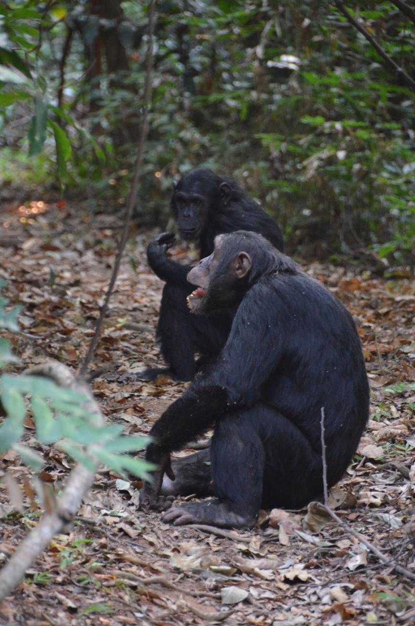 twee chimps